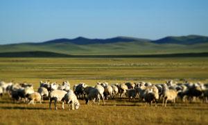内蒙古草原上的羊群摄影图片