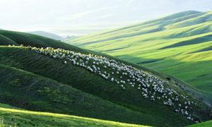 绿色山坡上成群的绵羊摄影图片
