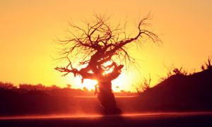 夕阳下美丽大树摄影图片