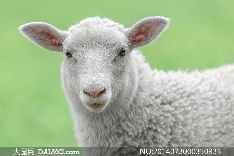 高清摄影大图图片素材动物绵羊绿色背景白色小羊家