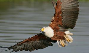 正掠过水面的翱翔雄鹰摄影高清图片