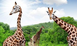 驻足在小路上的长颈鹿摄影高清图片
