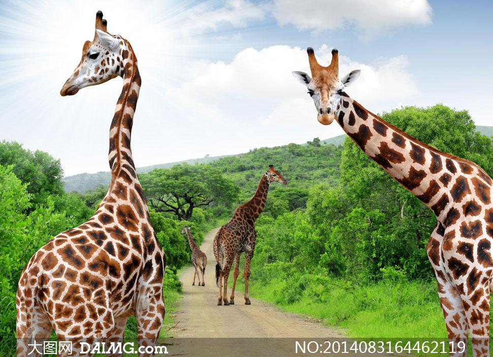 高清摄影大图图片素材动物树木树丛自然风景风光长颈鹿树林小路蓝天