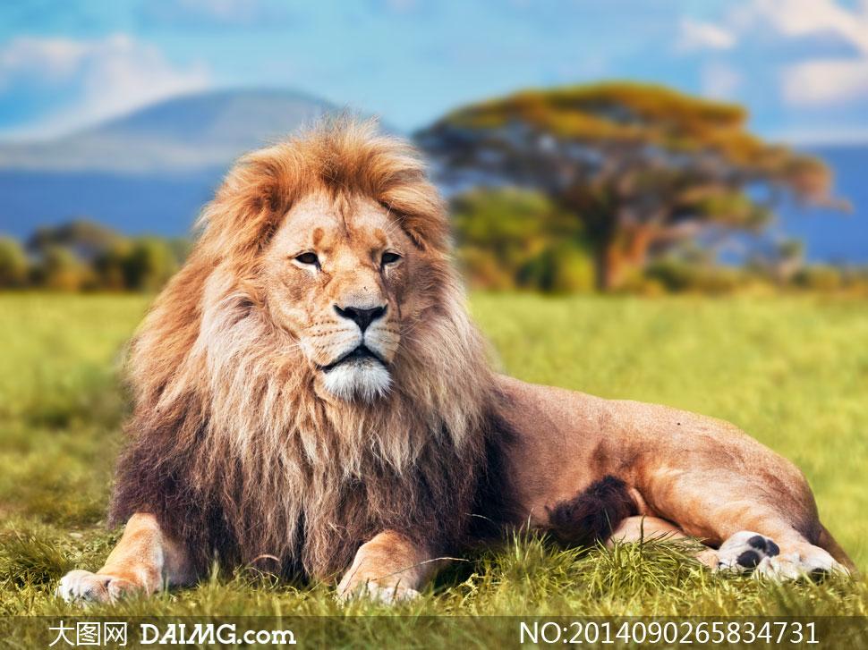 草原上卧着的狮子近景摄影高清图片