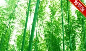 郁郁葱葱的竹叶林影楼摄影背景图片