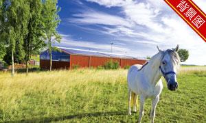 草地上的白马影楼摄影背景高清图片