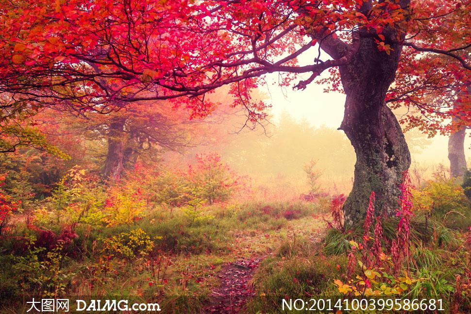 梦幻浪漫红叶树林风景摄影高清图片