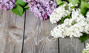 紫色的与白色的丁香花摄影高清图片