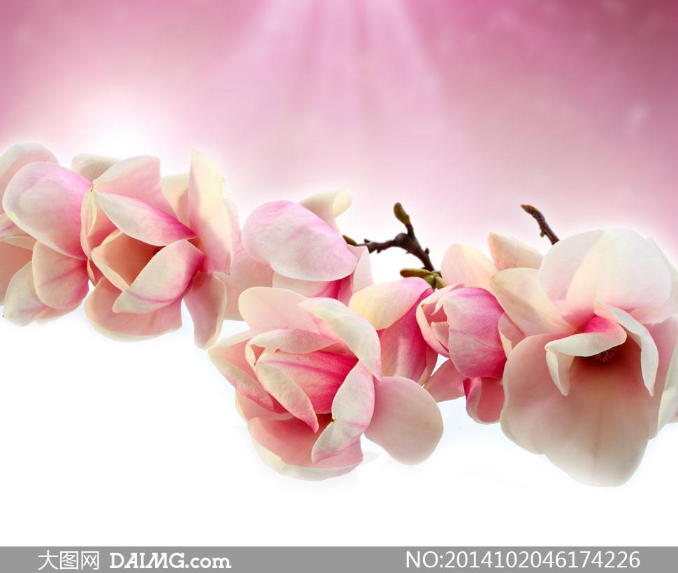 高清摄影大图图片素材鲜花花朵花卉树枝花枝枝头木兰