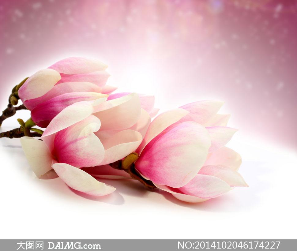 高清摄影大图图片素材鲜花花朵花卉树枝花枝木兰花