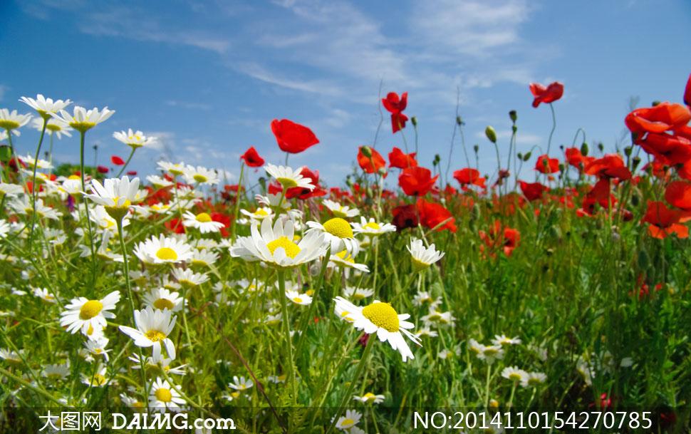 蓝天白云与 花草 丛风光摄影高清图片