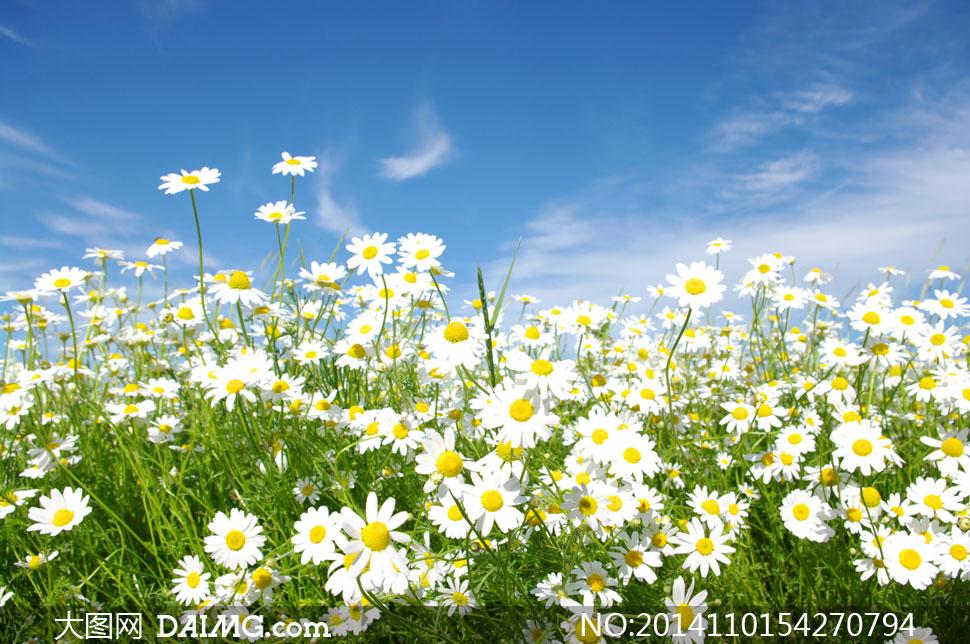 特写花草花丛 蓝天白云 云彩云层多云蔚蓝天空菊花白色