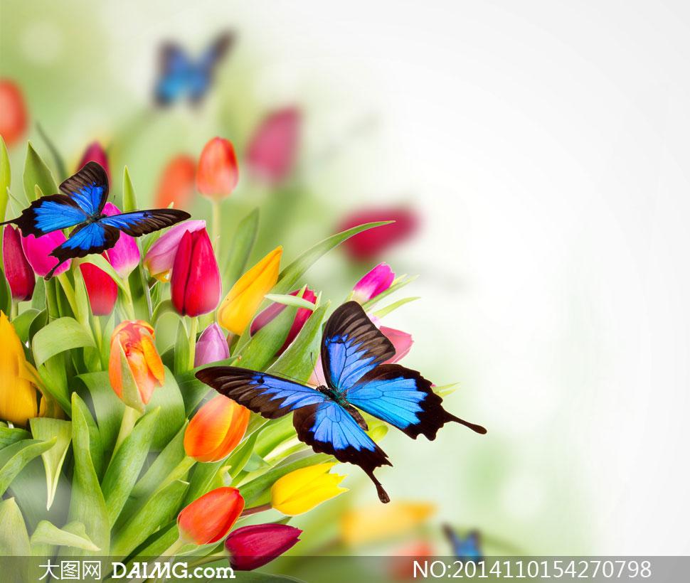 蝴蝶与鲜艳郁金香花卉摄影高清图片
