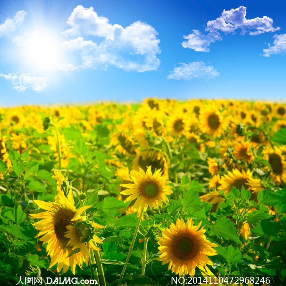 蓝天天空蔚蓝白云云彩云层云朵向日葵葵花黄色花海植物微距阳光耀眼