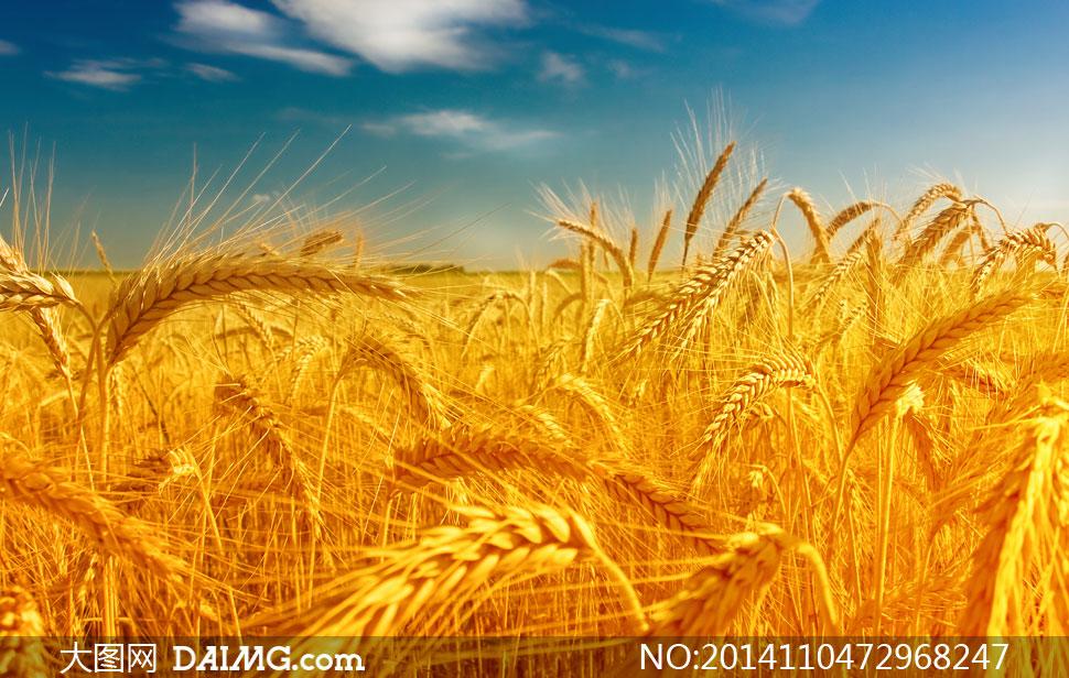农田里的成熟小麦风景摄影高清图片