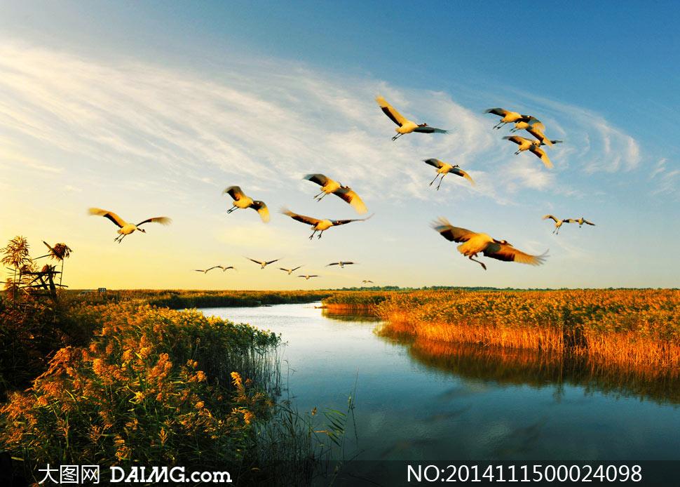 洪泽湖上飞翔的大雁摄影图片
