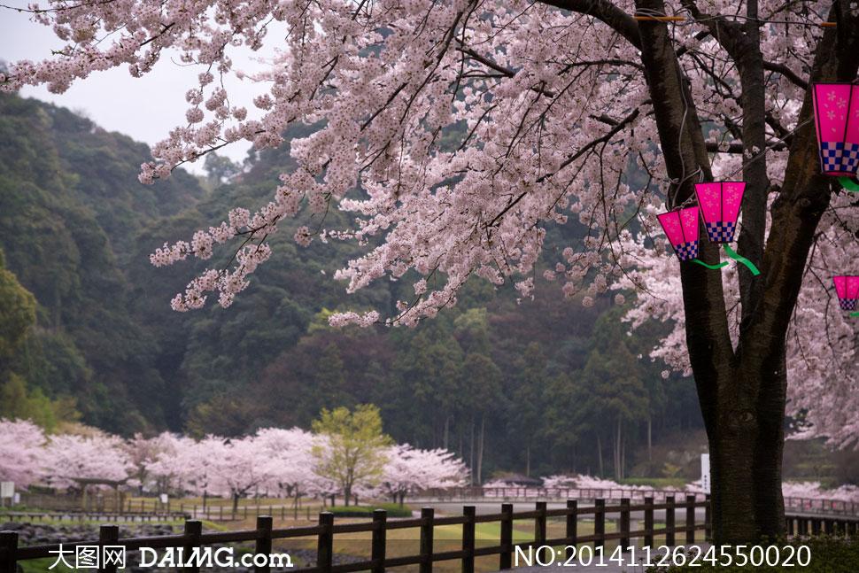 春天樱花与树上的灯笼摄影高清图片