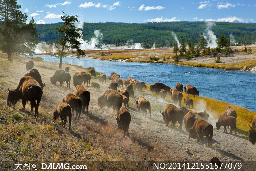 在河边一起觅食的野牛摄影高清图片 大图网设