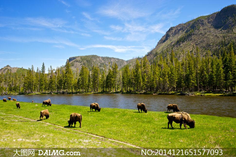 大山树林与觅食的野牛摄影高清图片