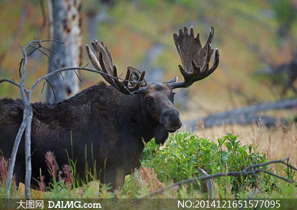 在树林里的黑色大角鹿摄影高清图片