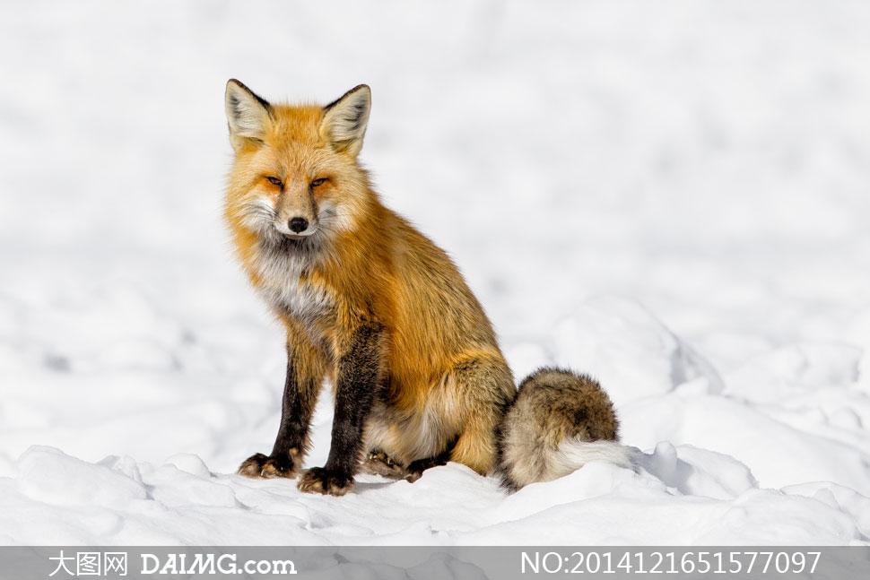 坐在雪地上的赤狐近景摄影高清图片 - 大图网设计素材