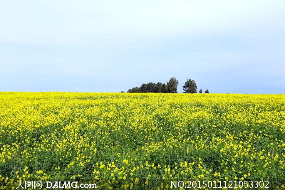 春天盛开的油菜花风景摄影高清图片