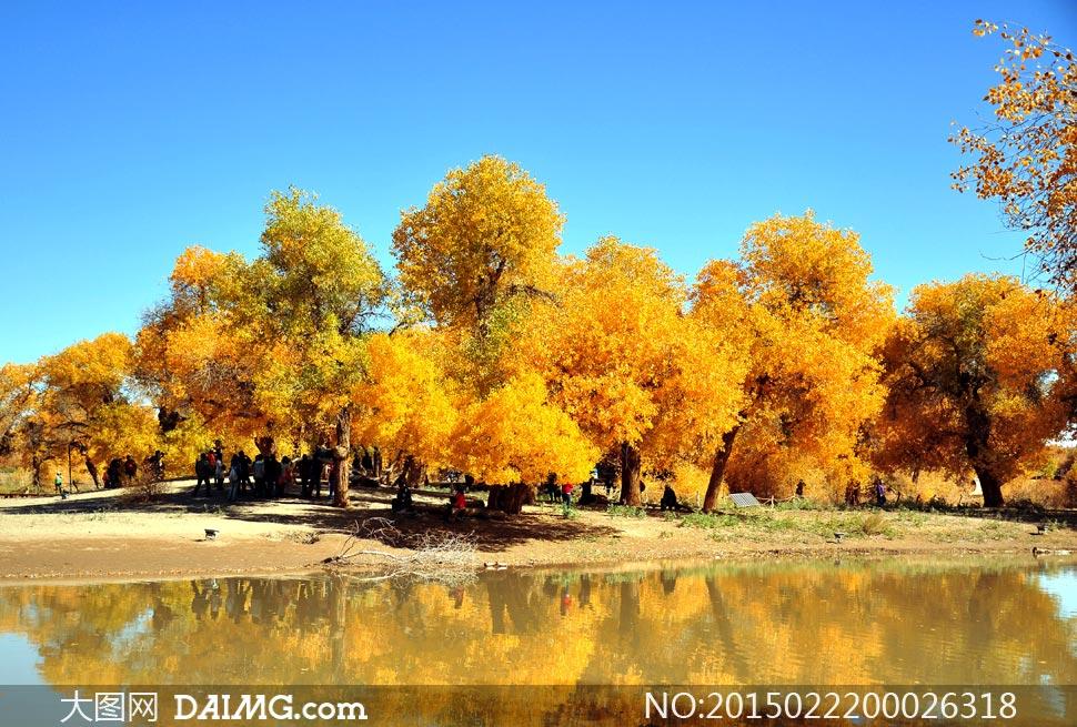 秋季美丽的胡杨树林摄影图片