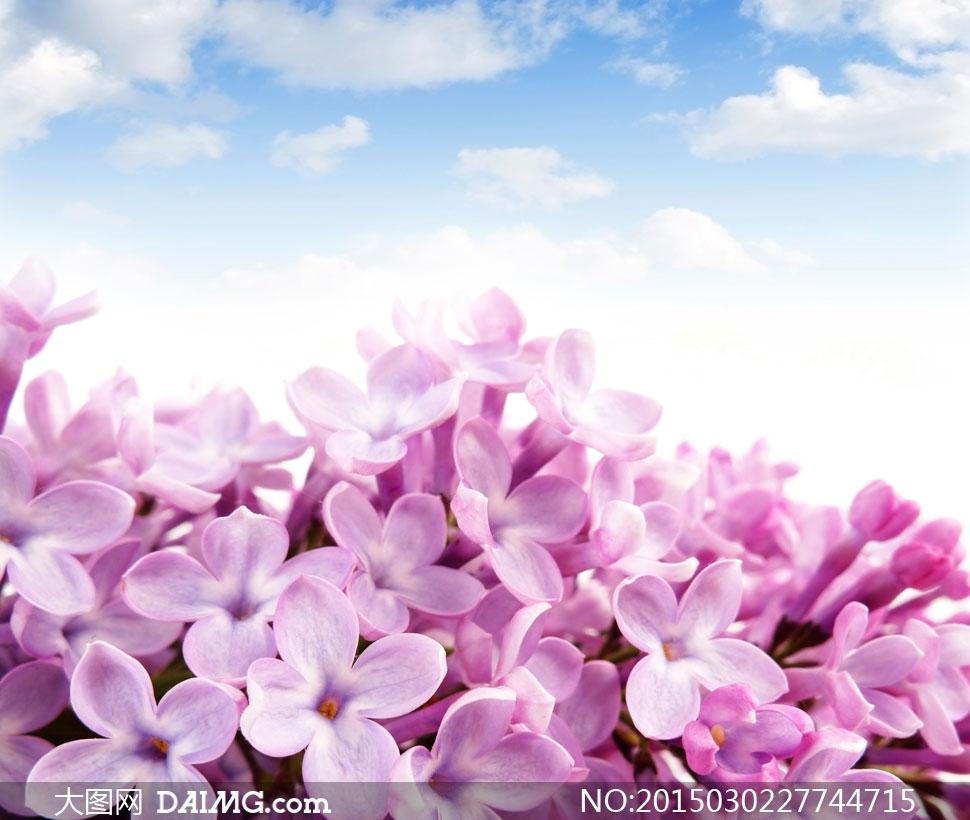 蓝天白云与紫色丁香花摄影高清图片