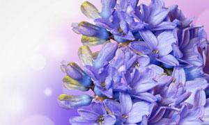 鲜艳丁香花朵近景微距摄影高清图片