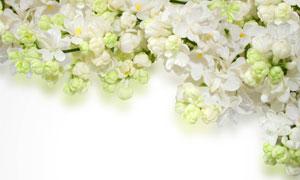 白色的丁香花近景特写摄影高清图片