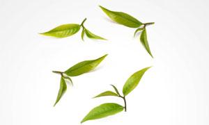 大图首页 高清图片 > 素材列表  四片新鲜绿色茶叶特写摄影高清图片图片