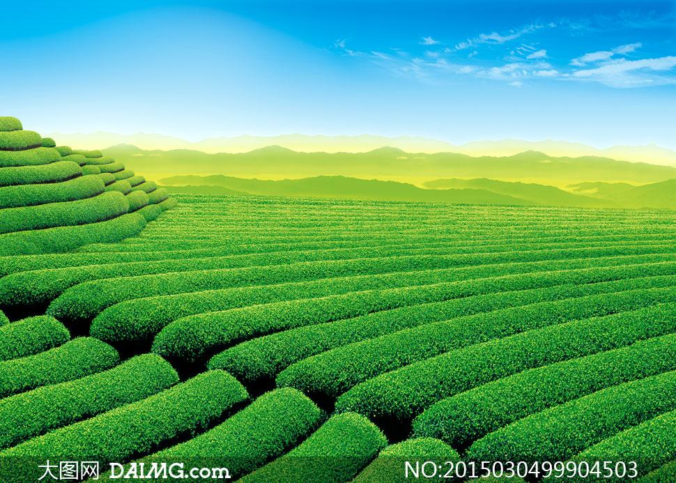 蓝天白云远山与茶叶园摄影高清图片