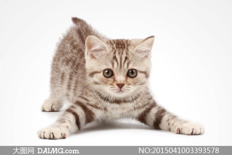 高清大图图片素材摄影动物宠物家猫小猫