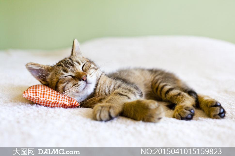 枕着枕头在睡大觉的猫摄影高清图片