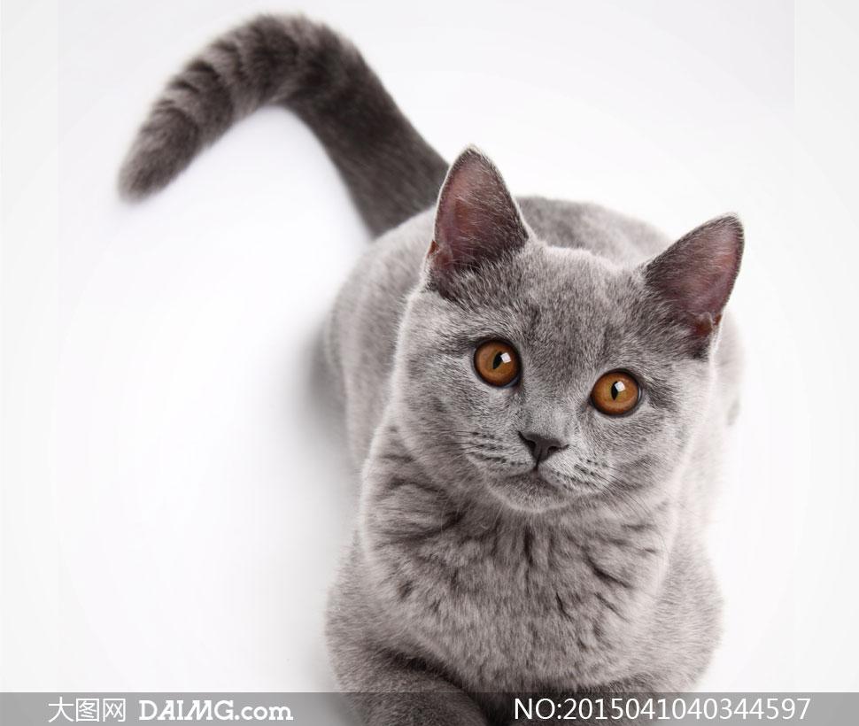 摇着尾巴的大灰猫近景摄影高清图片