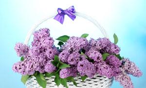 花篮里的紫丁香花朵等摄影高清图片