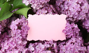 绿叶与紫色丁香花边框摄影高清图片