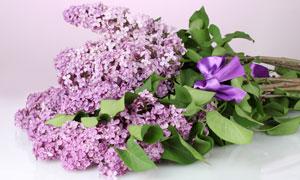 系紫色蝴蝶结的丁香花摄影高清图片