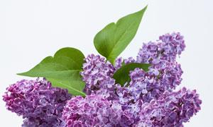带着绿叶的紫色丁香花摄影高清图片