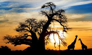 天空云彩与树木长颈鹿剪影高清图片