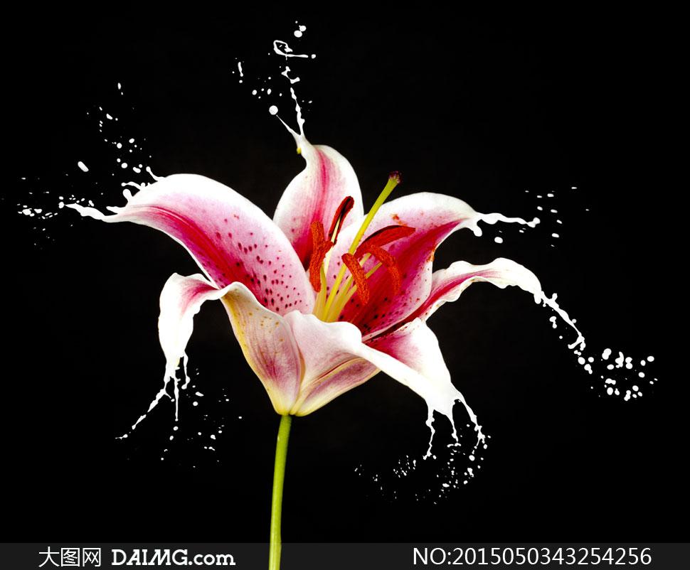 黑色背景百合花朵飞溅创意高清图片