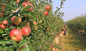 红苹果与在采摘的果农摄影高清图片