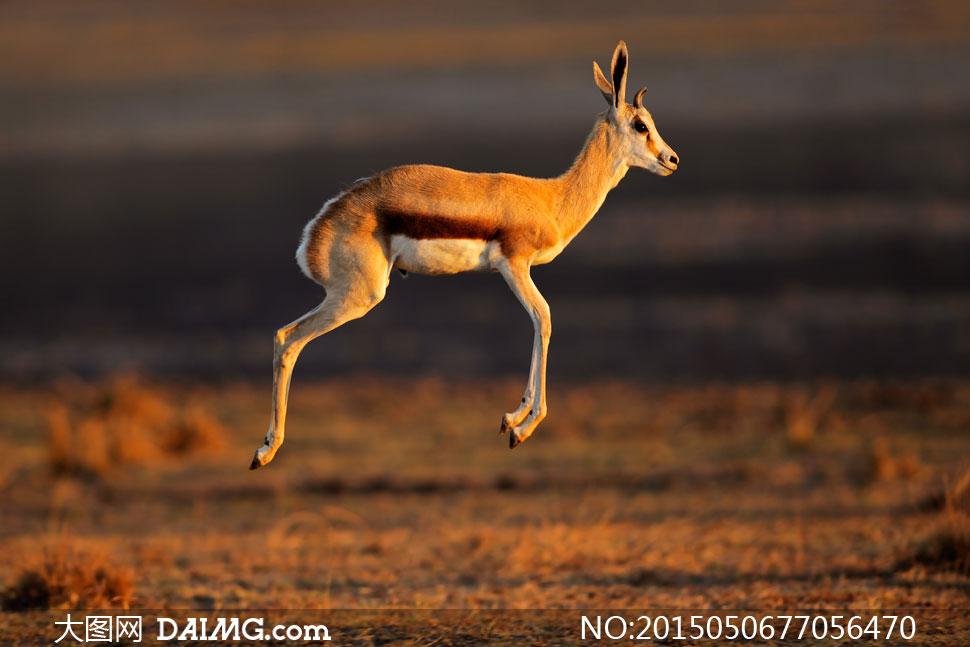 草原上腾空跳跃的羚羊摄影高清图片