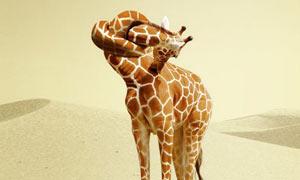 创意脖子打结的长颈鹿PS教程素材
