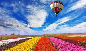 蓝天白云热气球与花田摄影高清图片