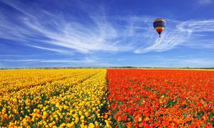 大面积种植的红黄鲜花摄影高清图片