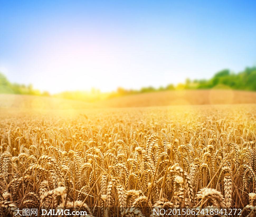 素材摄影自然风景风光阳光小麦麦田庄稼地农作物成熟