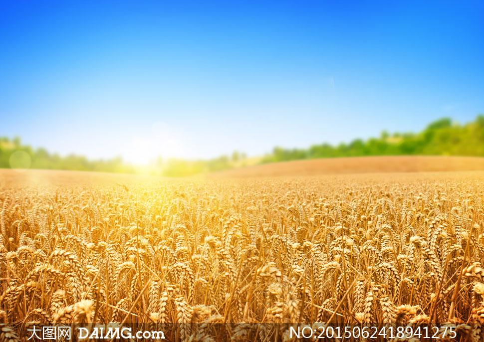 蔚蓝天空与成熟的小麦摄影高清图片