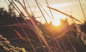 成熟季节的农作物逆光摄影高清图片