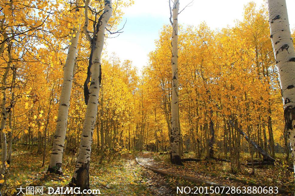 被秋色染黄的树林风景摄影高清图片